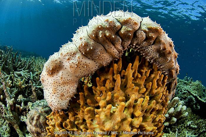 Graeff's sea cucumber (Bohadschia graeffei) Kimbe Bay, West New Britain, Papua New Guinea  -  Jurgen Freund/ npl