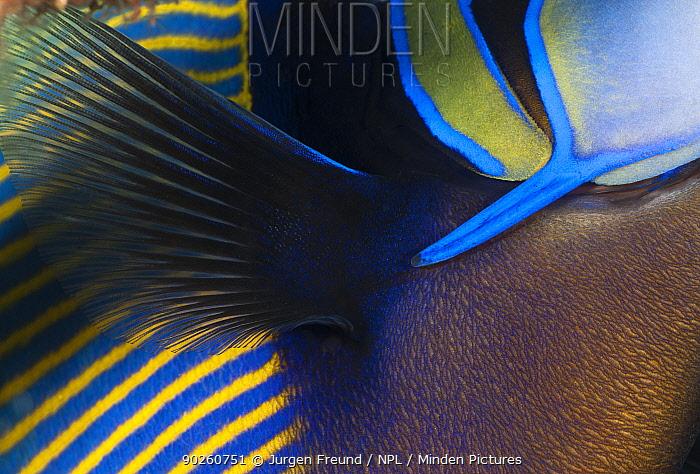 Detail of Emperor angelfish (Pomacanthus imperator) Bali, Indonesia, Indo-pacific  -  Jurgen Freund/ npl