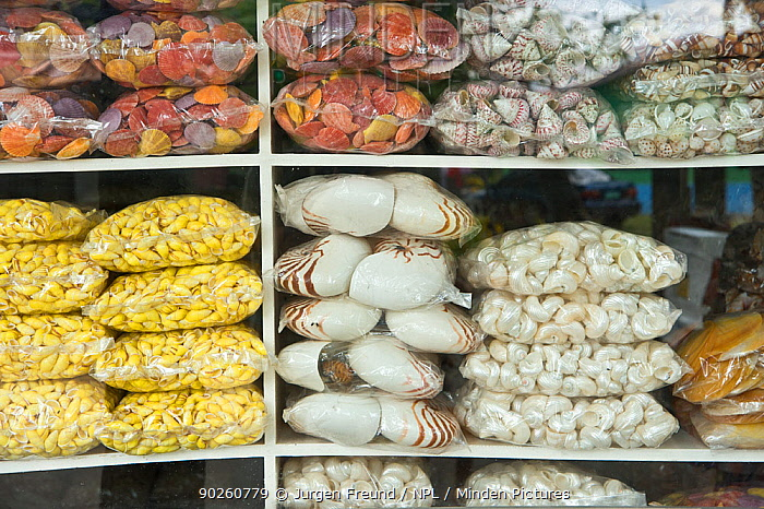 Stacks of seashells for sale for decorative market, Indonesia, July 2008  -  Jurgen Freund/ npl