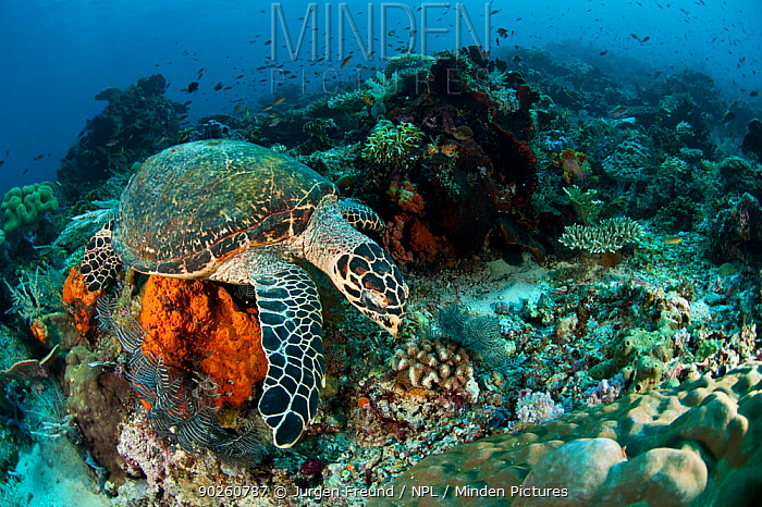 Hawksbill turtle (Eretmochelys imbricata) on coral reef, Komodo NP, Indonesia, Indo-pacific  -  Jurgen Freund/ npl