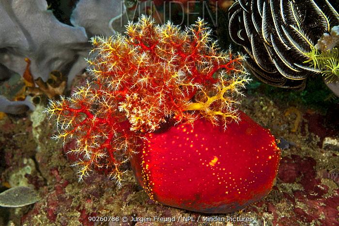 Sea apple (Pseudocolochirus violaceus) with tentacles exposed, feeding, Komodo NP, Indonesia, Indo-pacific  -  Jurgen Freund/ npl