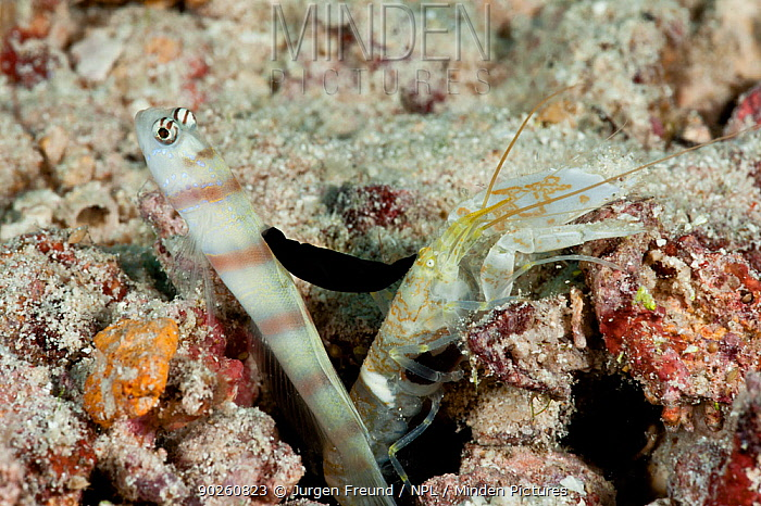 Steinitz' shrimp goby (Amblyeleotris steinitzi) with parasitic nudibranch (Gymnodoris nigricolor) feeding on its dorsal fin, the goby lives in symbiosis with the shrimp who digs a burrow which the goby lives in and watches out for predators New Ireland, Papua New Guinea  -  Jurgen Freund/ npl