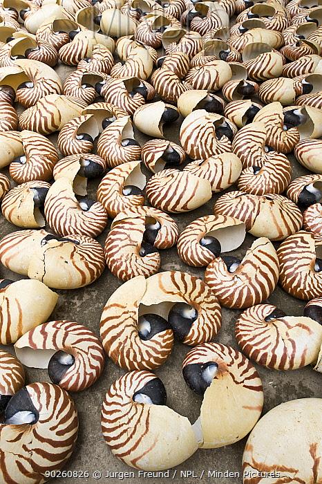 Nautilus shells (Nautilus pompilius) collected and sold for the decorative market, Indonesia, July 2008  -  Jurgen Freund/ npl