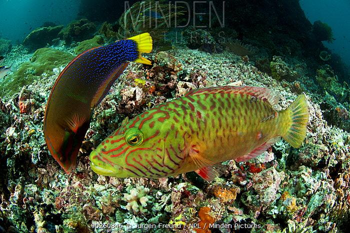 Yellowtail coris, Clown wrasse (Coris gaimard) on left, feeding on coral reef, and Cheeklined Maori Wrasse (Cheilinus diagrammus) on right, Sulawesi, Indonesia, Indo-pacfic  -  Jurgen Freund/ npl
