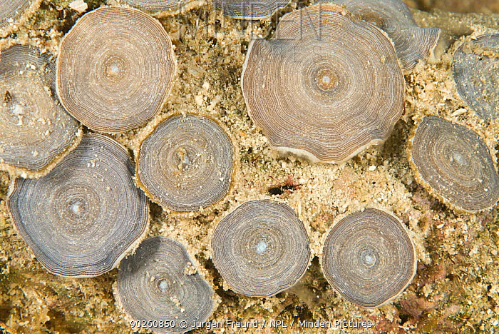 Foramenifera, Papua New Guinea  -  Jurgen Freund/ npl