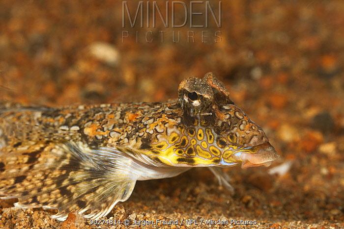 Fingered dragonet (Dactylopus dactylopus) walking on seabed, Batangas, Philippines  -  Jurgen Freund/ npl