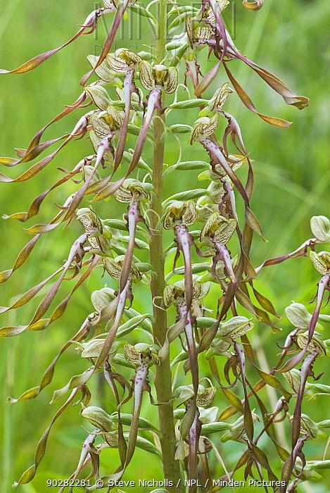 Lizard orchid (Himantoglossum hircinum) flowering on roadside verge, Bristol, UK, July  -  Steve Nicholls/ npl