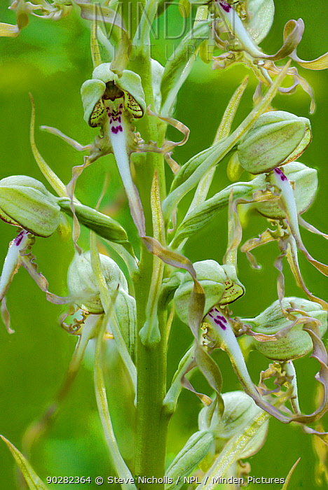 Lizard orchid (Himantoglossum hircinum) flowers, Bristol, UK, June  -  Steve Nicholls/ npl