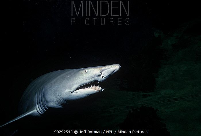 Sand Tiger Shark (Carcharias taurus) North Carolina, USA Atlantic Ocean  -  Jeff Rotman/ npl