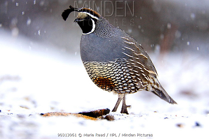 California Quail (Callipepla californica), male on snow-covered ground with falling snow in winter, Mono Basin, California, USA, February  -  Marie Read/ npl