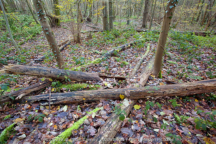 Mixed woodland with dead wood lying on the woodland floor, The National Forest, Yoxall, Derbyshire, UK, November 2010  -  Peter Cairns/ 2020V/ npl
