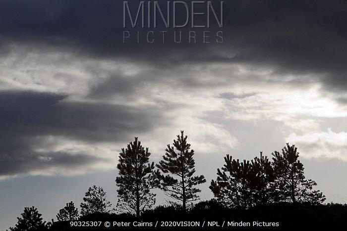 silhouette of Scots pine saplings (Pinus sylvestris) in deer-proof enclosure, Inverpolly, Sutherland, Highlands, Scotland, UK, January 2011  -  Peter Cairns/ 2020V/ npl