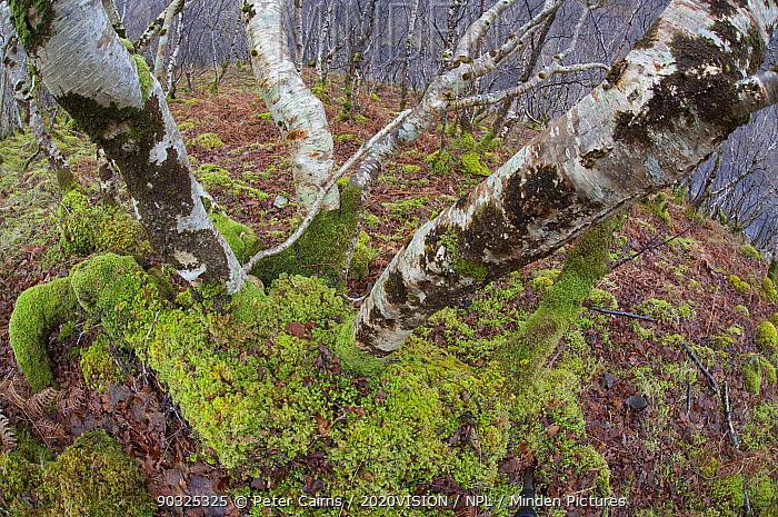 Upland woodland containing birch, oak, hazel, Inverpolly, Sutherland, Highlands, Scotland, UK, January 2011  -  Peter Cairns/ 2020V/ npl
