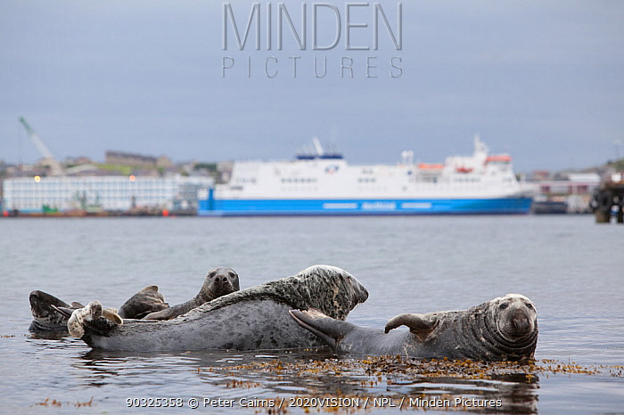 Grey seals (Halichoerus grypus) on haul out in fishing harbour with ferry in the background, Lerwick, Shetland Isles, Scotland, UK, June 2010  -  Peter Cairns/ 2020V/ npl