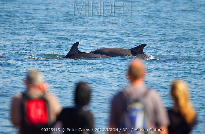 People watching Bottlenosed dolphins (Tursiops truncatus) on Chanonry Point beach, Fortrose, Moray Firth, Scotland, UK, August 2010  -  Peter Cairns/ 2020V/ npl