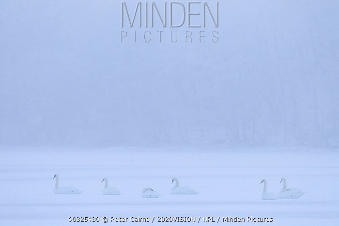 Mute Swans (Cygnus Olor) on frozen Loch Insh, Cairngorms NP, Kincraig, Scotland, UK, January  -  Peter Cairns/ 2020V/ npl