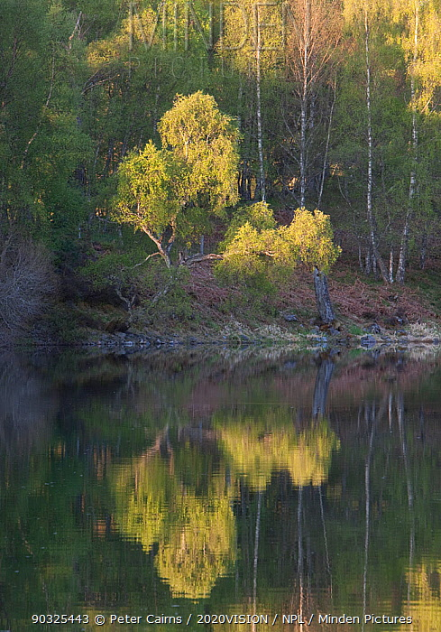 Native woodland reflected in Loch Vaa at dawn, spring, Cairngorms National Park, Highlands, Scotland, UK, May 2011  -  Peter Cairns/ 2020V/ npl