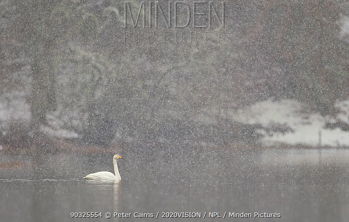 Whooper swans (Cygnus cygnus) on water during snow storm, Loch Insh, Cairngorms NP, Highlands, Scotland, UK, March 2011  -  Peter Cairns/ 2020V/ npl