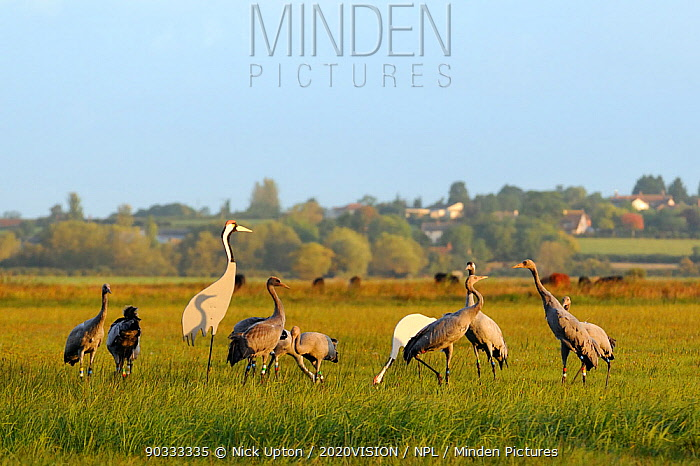 Mixed flock of 4 month old and 16 month old Common, Eurasian cranes (Grus grus), released by the Great Crane Project onto the Somerset Levels and Moors, with juvenile males challenging one another near adult crane decoys in dawn sunlight, Somerset, UK, Autumn 2011  -  Nick Upton/ npl