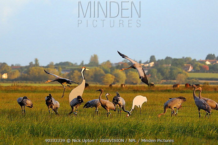 Two juvenile Common, Eurasian cranes (Grus grus) coming in to land alongside mixed flock of 4 month old and 16 month old Cranes released by the Great Crane Project onto the Somerset Levels and Moors, feeding near adult crane decoys in dawn sunlight, Somerset, UK, Autumn 2011  -  Nick Upton/ npl