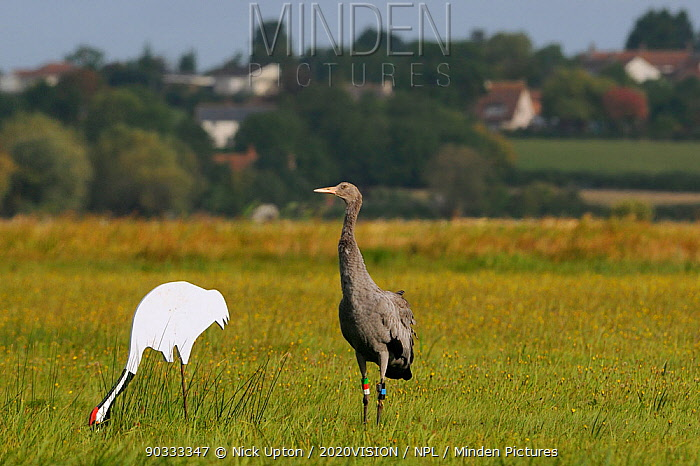 Juvenile Common, Eurasian crane (Grus grus) recently released by the Great Crane Project onto the Somerset Levels and Moors, standing alert by adult crane decoy in dawn sunlight, with village in the background, Somerset, UK, Autumn 2011  -  Nick Upton/ npl