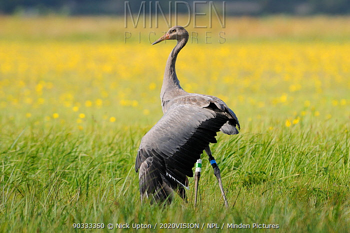 Juvenile Common, Eurasian crane (Grus grus) Pepper released by the Great Crane Project onto the Somerset Levels and Moors, stretching a wing while standing in a grassy meadow with Autumn Hawkbit (Leontodon autumnalis) flowers, Somerset, UK, Autumn 2011  -  Nick Upton/ npl