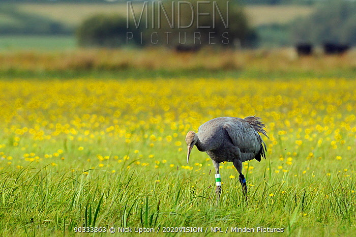 Juvenile Common, Eurasian crane (Grus grus) Pepper recently released by the Great Crane Project onto the Somerset Levels and Moors, foraging for insects in a grassy meadow carpeted with Autumnal hawkbit (Leontodon autumnalis) flowers, Somerset, UK, Autumn 2011  -  Nick Upton/ npl