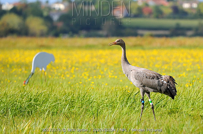 Juvenile Common, Eurasian crane (Grus grus) Pepper released by the Great Crane Project onto the Somerset Levels and Moors, near an adult crane decoy, with a carpet of Autumn Hawkbit (Leontodon autumnalis) flowers and a village in the background, Somerset, UK, Autumn 2011  -  Nick Upton/ npl