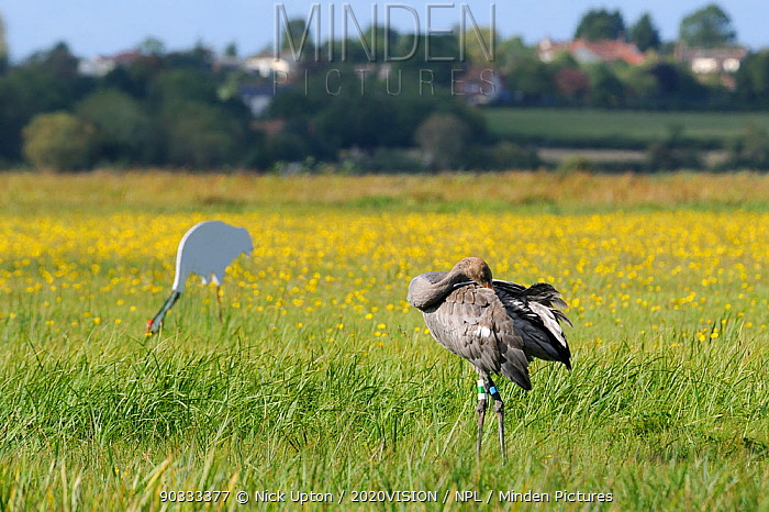 Juvenile Common, Eurasian crane (Grus grus) Pepper released by the Great Crane Project onto the Somerset Levels and Moors, preening as it stands near an adult crane decoy, with Autumn Hawkbit (Leontodon autumnalis) flowers and a village in the background, Somerset, UK, Autumn 2011  -  Nick Upton/ npl