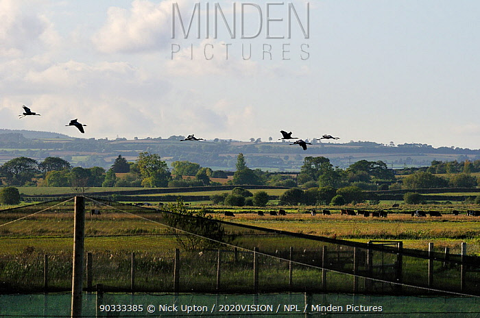 Six juvenile Common, Eurasian cranes (Grus grus), reared by the Great Crane Project, flying out from their initial release enclosure to forage on the Somerset Levels and Moors, with cattle in the background, Somerset, UK, Autumn 2011  -  Nick Upton/ npl