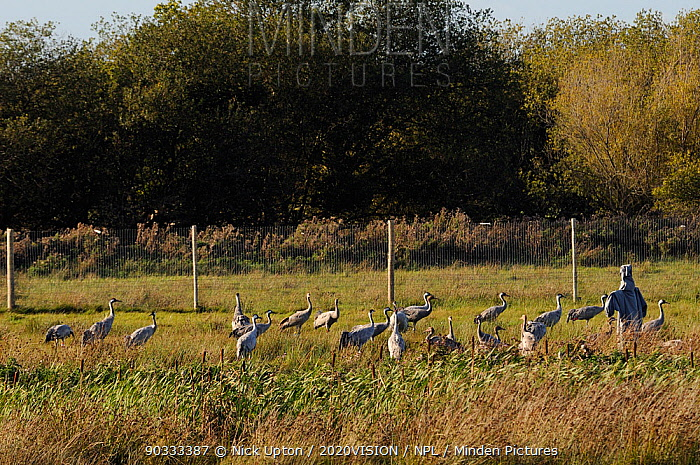 Mixed flock of 4 month old and 16 month old Common, Eurasian cranes (Grus grus), released by the Great Crane Project onto the Somerset Levels and Moors, gathered to roost at sunset beside a dummy surrogate parent manakin in their initial release enclosure, Somerset, UK, Autumn 2011  -  Nick Upton/ npl