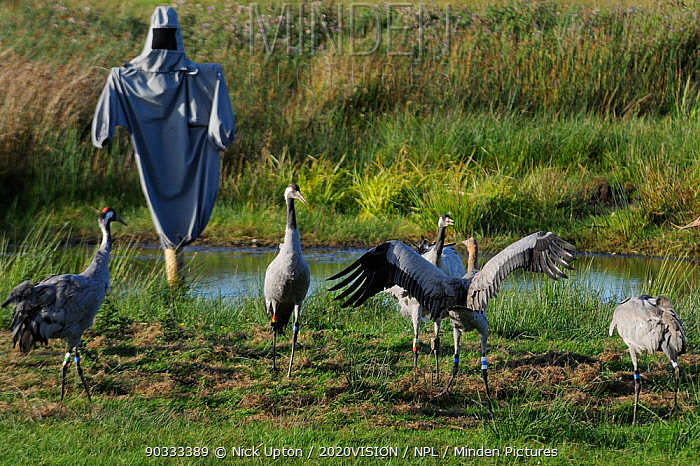 Common, Eurasian crane (Grus grus) Albert, a brown-headed 4 month old reared by the Great Crane Project, challenging 16 month old female Sedge, near a surrogate parent manakin within their initial release enclosure on the Somerset Levels and Moors, Somerset, UK, Autumn 2011  -  Nick Upton/ npl