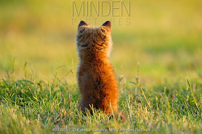 Young Red Fox (Vulpes vulpes)sittin, rear view, Vosges, France, May  -  Fabrice Cahez/ npl
