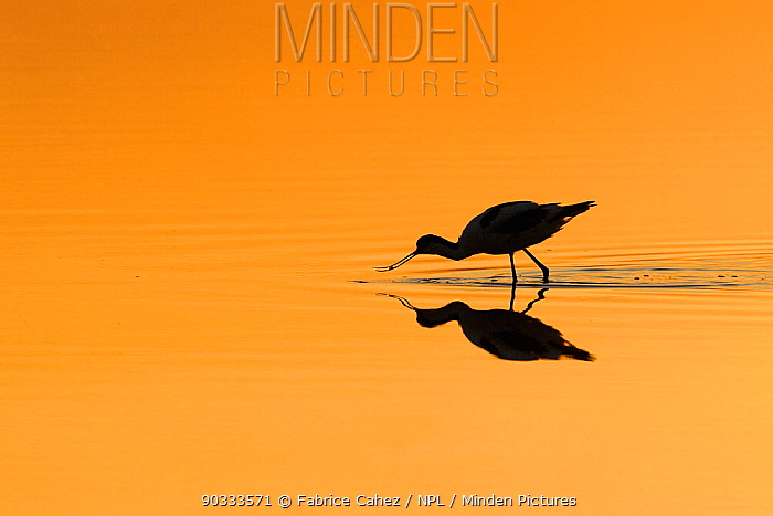 Avocet (Recurvirostra avosetta) silhouetted in shallow water at dawn River Allier, France, July  -  Fabrice Cahez/ npl