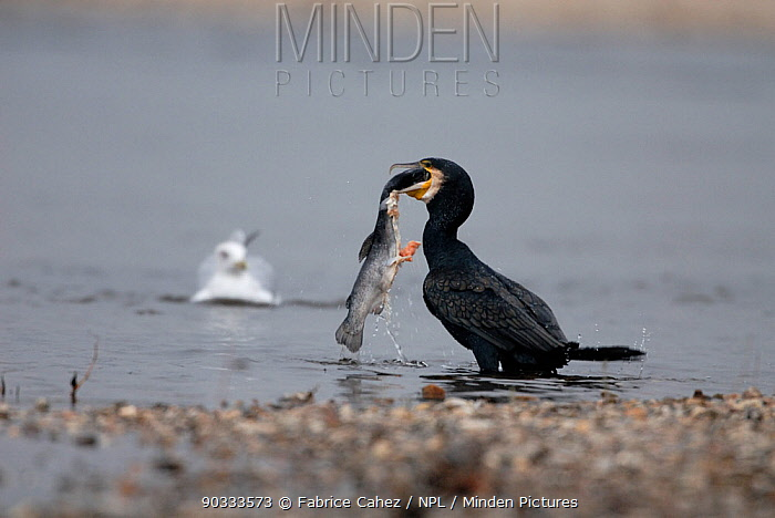 Great Cormorant (Phalacrocorax carbo) swallowing a large fish as a gull looks on River Allier, France, November  -  Fabrice Cahez/ npl