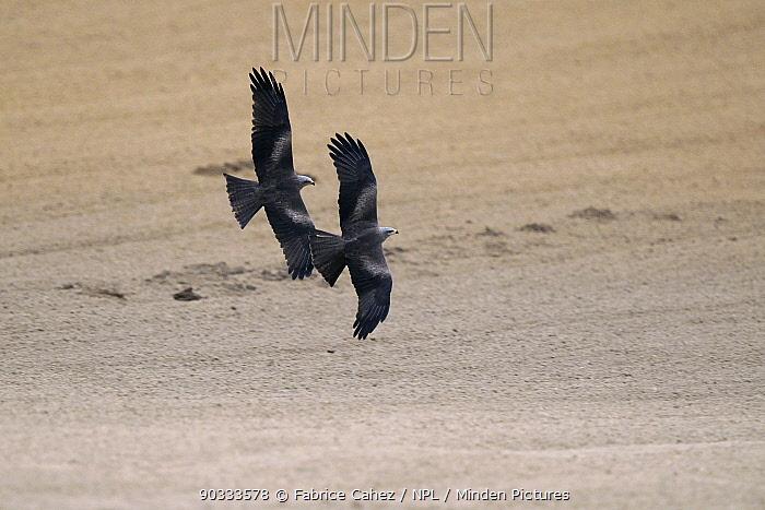 Two Black Kites (Milvus migrans) in flight Vosges, France, April  -  Fabrice Cahez/ npl