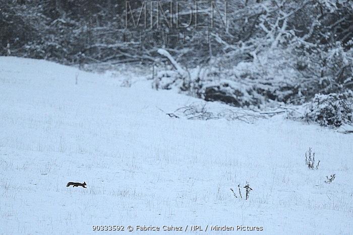 Red squirrel (Sciurus vulgaris) running through snowy field Vosges, France, December  -  Fabrice Cahez/ npl