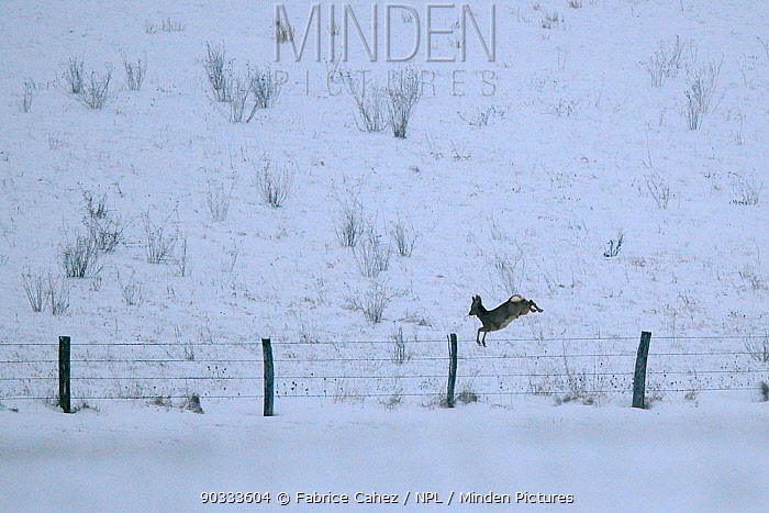 Roe Deer (Capreolus capreolus) jumping over barbed wire fence in snow Vosges, France, January  -  Fabrice Cahez/ npl