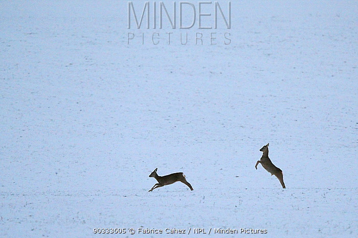 Roe Deer (Capreolus capreolus) male and female chasing through snow Vosges, France, December  -  Fabrice Cahez/ npl