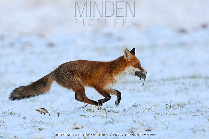 Red Fox (Vulpes vulpes) running across snow with rodent prey in mouth Vosges, France, December  -  Fabrice Cahez/ npl