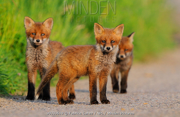 Young Red Fox cubs (Vulpes vulpes) looking towards the photographer Vosges, France, May  -  Fabrice Cahez/ npl