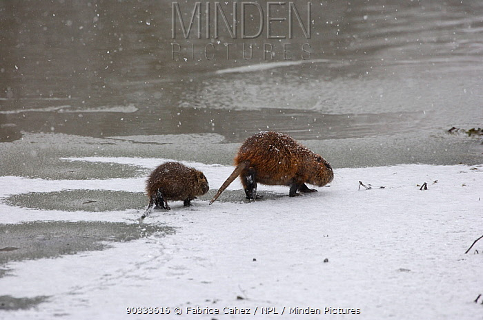 Coypu (Myocastor coypus) mother and young on ice by water River Allier, France, December  -  Fabrice Cahez/ npl