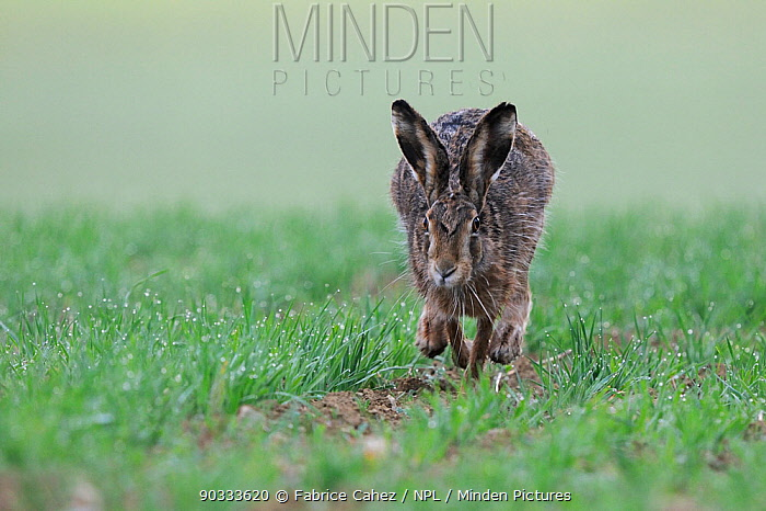 Hare (Lepus europaeus) running, Vosges, France, April  -  Fabrice Cahez/ npl