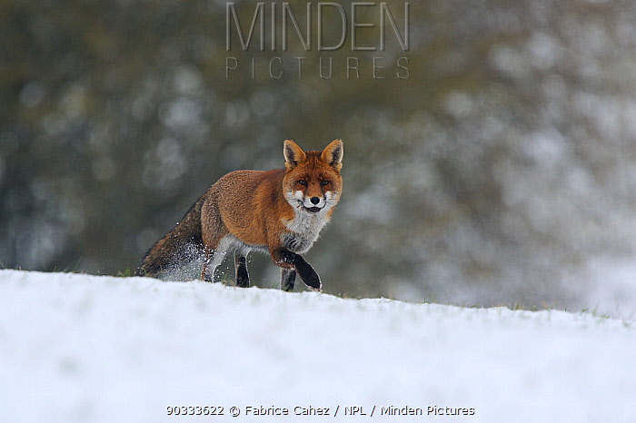 Red Fox (Vulpes vulpes) in snow Vosges, France, December  -  Fabrice Cahez/ npl