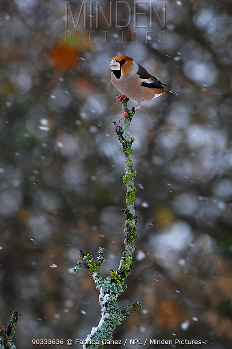 Hawfinch (Coccothraustes coccothraustes) perched in snowfall Vosges, France, November  -  Fabrice Cahez/ npl