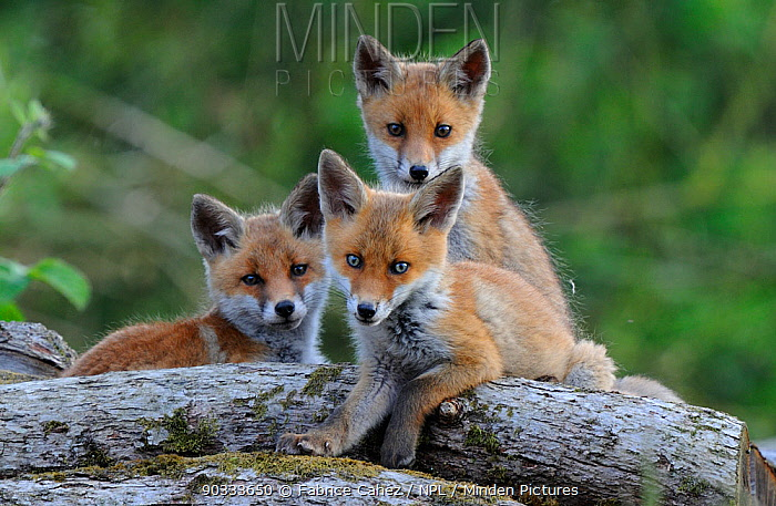 Young Red Foxcubs (Vulpes vulpes) looking towards the photographer Vosges, France, May  -  Fabrice Cahez/ npl