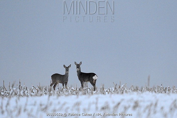 Roe Deer (Capreolus capreolus) male without antlers and female Vosges, France, November  -  Fabrice Cahez/ npl