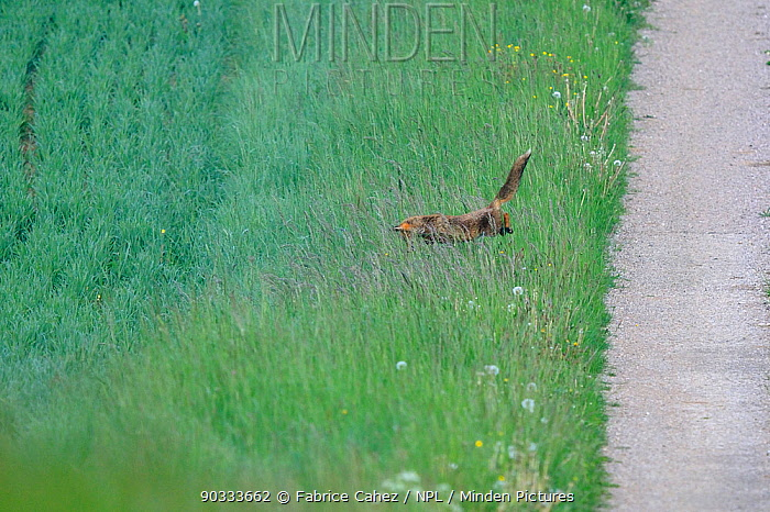 Red Fox (Vulpes vulpes) jumping from path to long grass Vosges, France, May Hunting sequence 3 of 3  -  Fabrice Cahez/ npl
