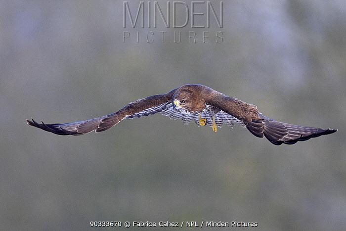Common Buzzard (Buteo buteo) in flight Vosges, France, January  -  Fabrice Cahez/ npl