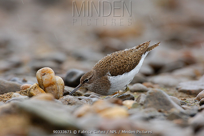 Common Sandpiper (Actitis hypoleucos) foraging among stones River Allier, France, July  -  Fabrice Cahez/ npl